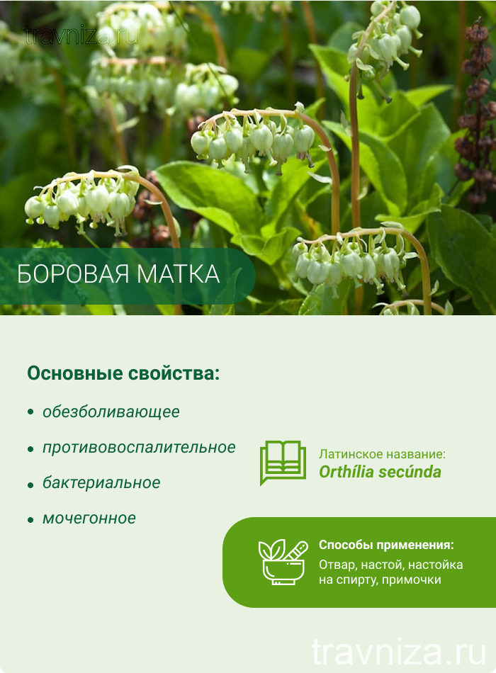 Borovaya Matka Infografika