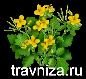 Лекарственное растение чистотел