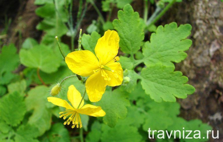 Внешний вид растения и цветка чистотела большого