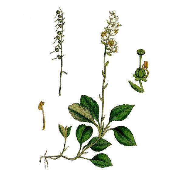 внешний вид растения боровая матка