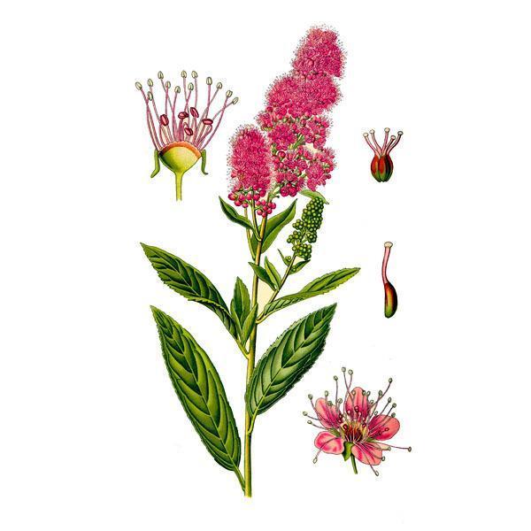 внешний вид цветков красной щетки