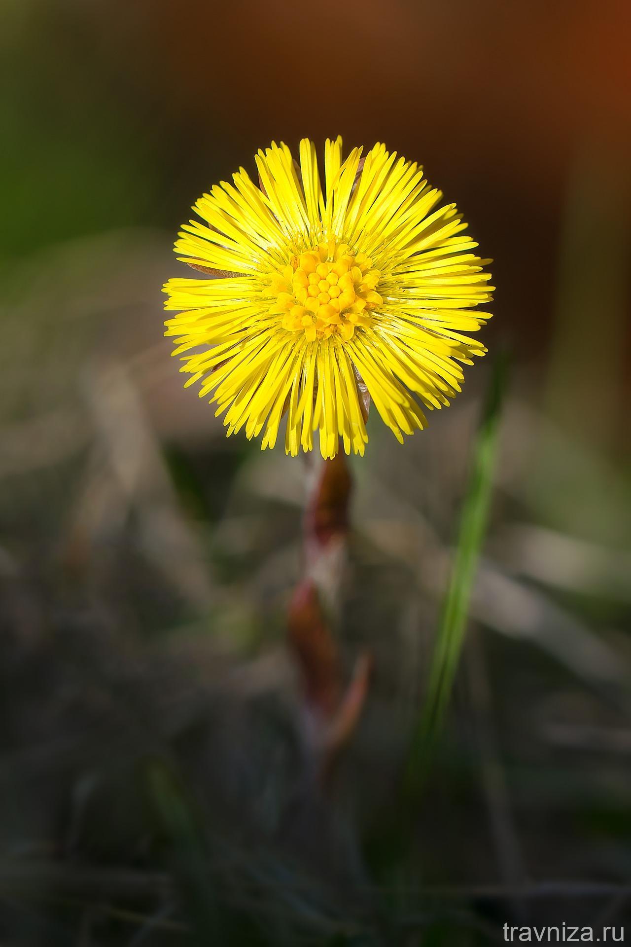 цветок мать-и-мачехи