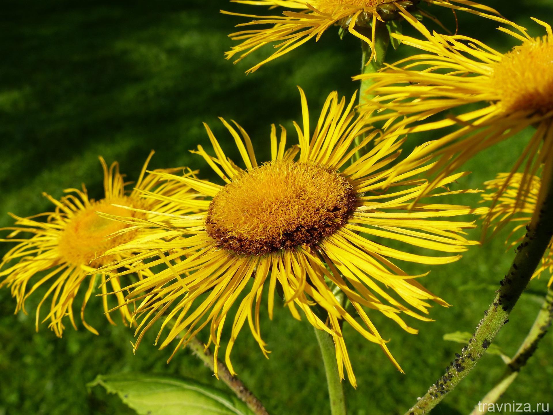 цветок девясила высокого