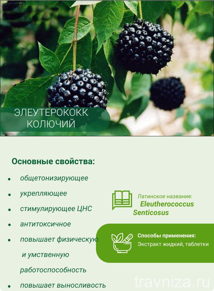 элеутерококк инфографика