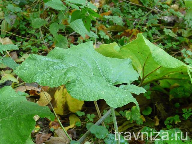 лист лопуха во влажной почве