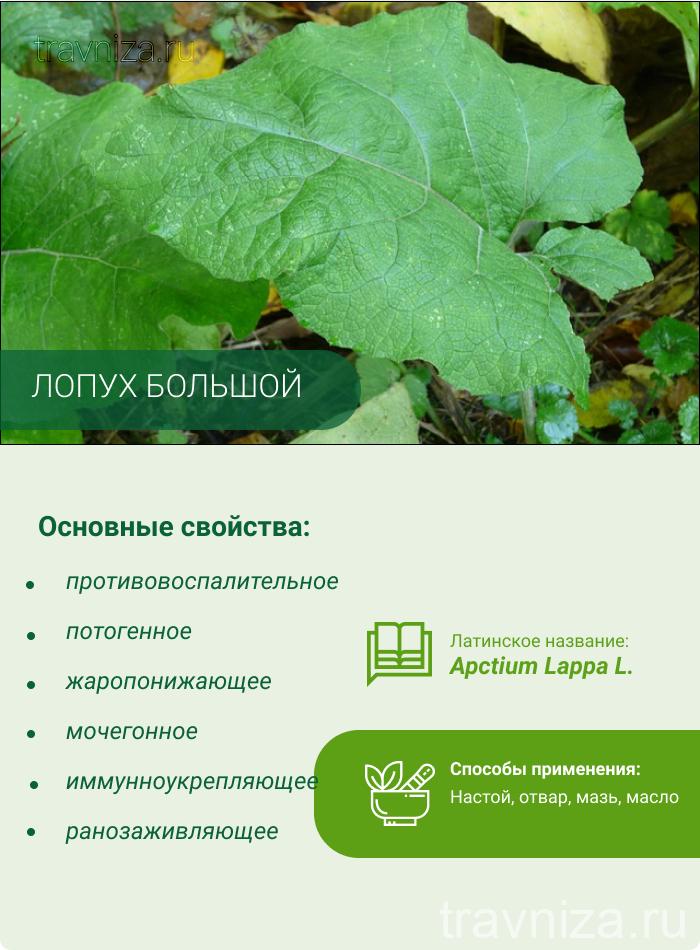 лопух инфографика