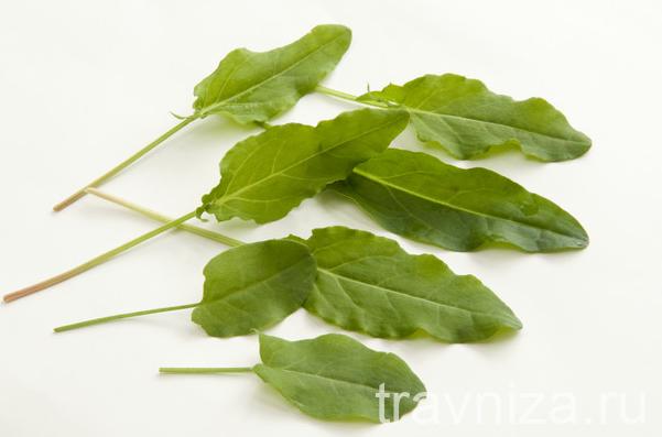 листья конского щавеля