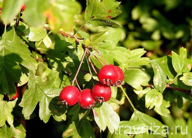 внешний вид плодов боярышника