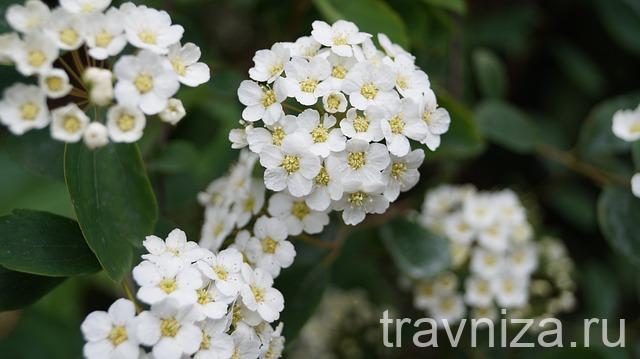 внешний вид цветков боярышника