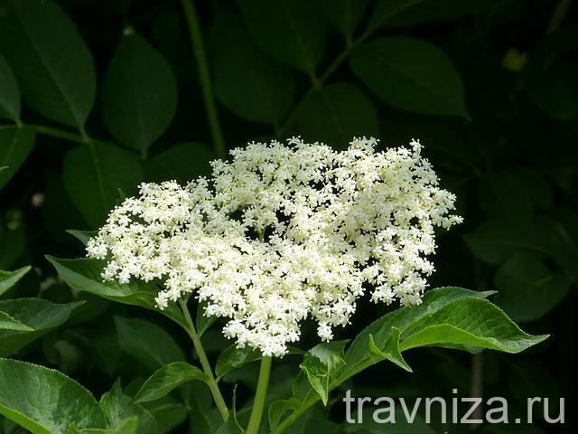 бузина черная цветки