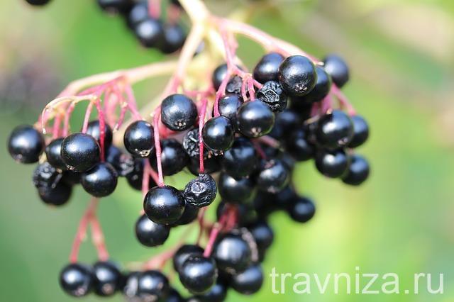 польза ягод бузины черной