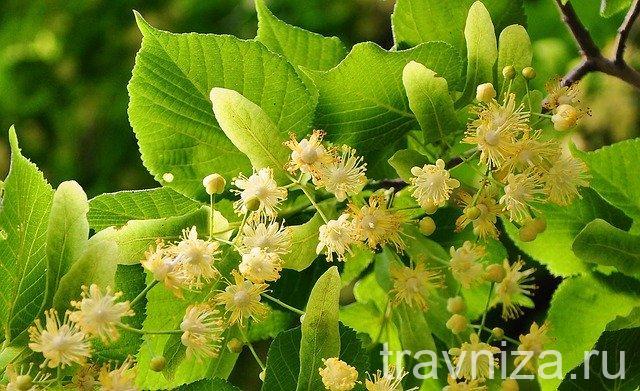 цветки липы для антистрессового чая