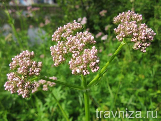 цветки валерианы