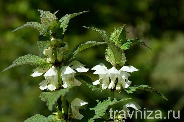цветки крапивы глухой