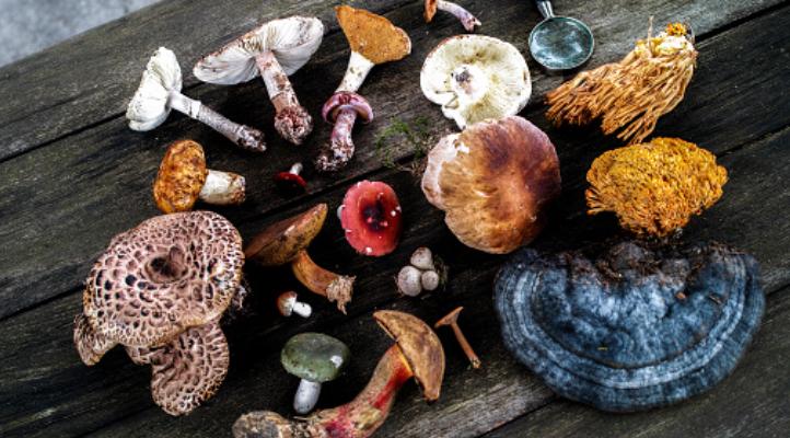 Лечебные грибы, помогающие бороться с опухолями и раком