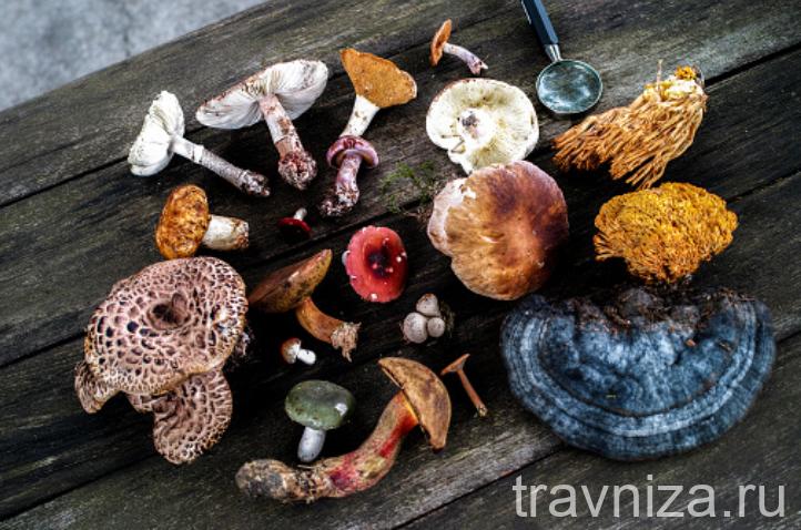 Лечебные грибы: кордицепс, грифола, ежовик, бамбуковый гриб