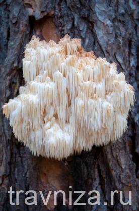 грибы ежовик гребенчатый или гериция