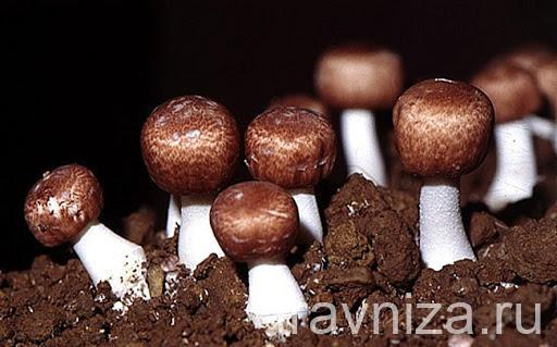 грибы агарик бразильский