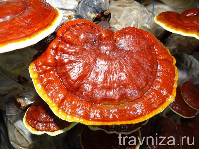 грибы рейши