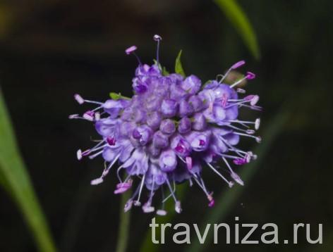 чертов корень цветок
