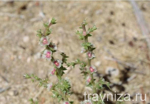 цветки солянки холмовой