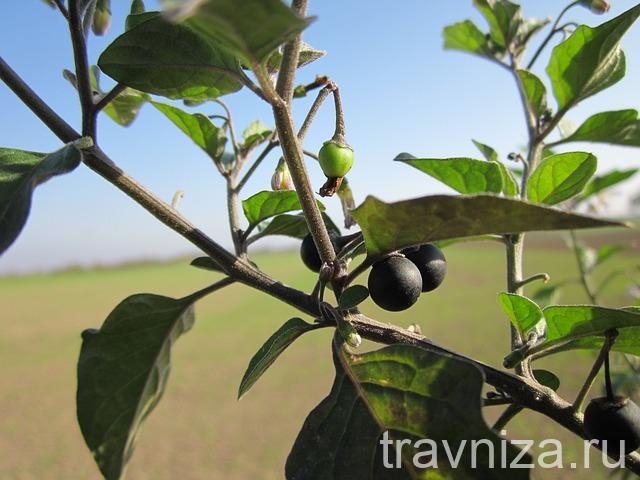 паслен черный польза ягод