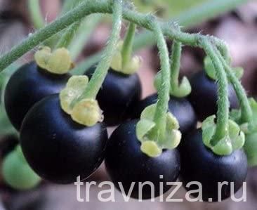паслен черный или санберри