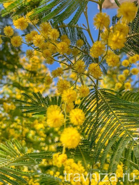 мимоза дерево